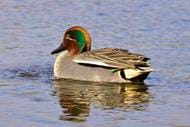 Common Teal male