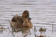 Northern Pintail female